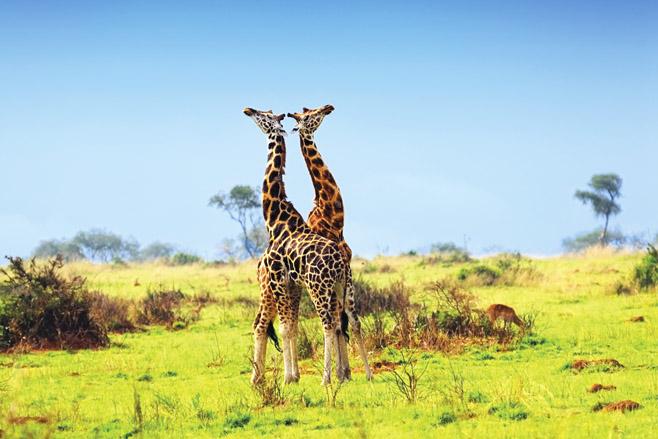 Uganda Giraffes