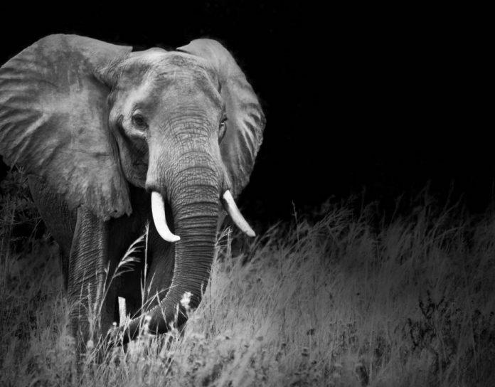 Uganda Safari Elephants