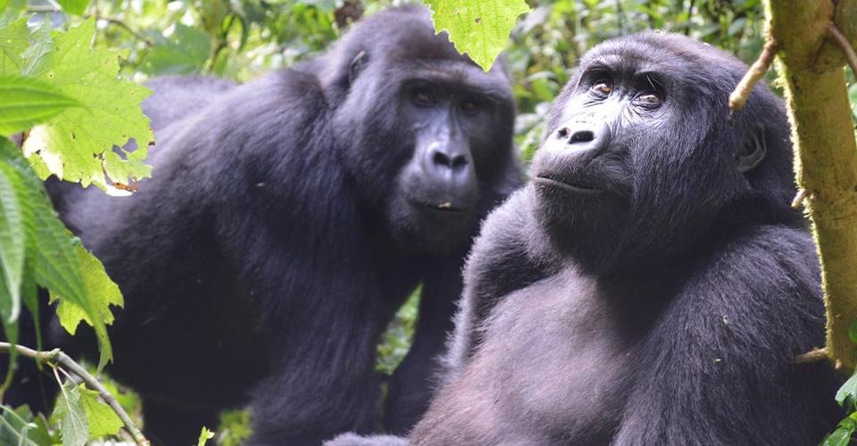 Bwindi Forest in Uganda