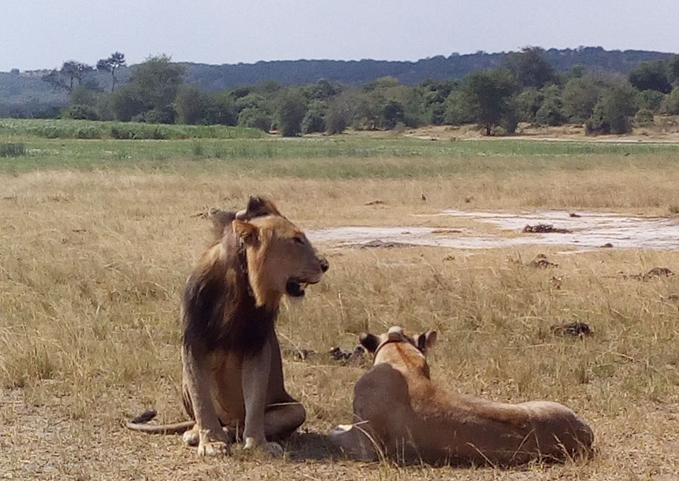 Ugandan Lions