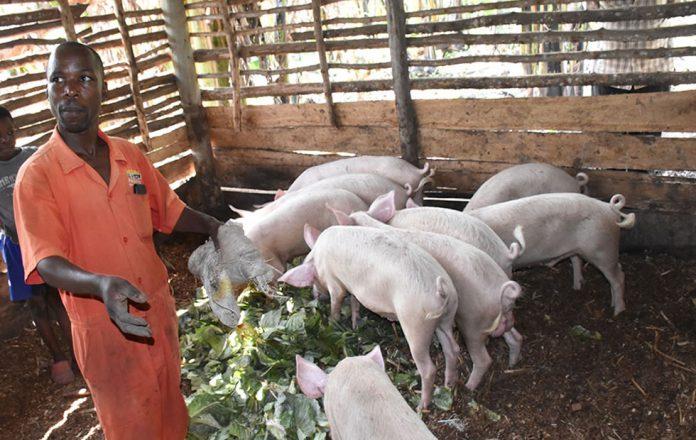 Piggery Farming in Uganda